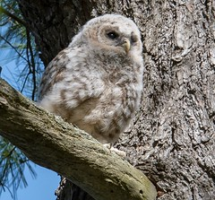 Baby Barred Owl (seanallair1) Tags: birds wildlife photography nature spring owlet babybarredowl owl barredowl