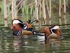 Mandarin Duck (Aix galericulata) Brandon 13.3.2017 (12) (wildlifelover69) Tags: mandarinduck aixgalericulata brandoncountrypark brandon suffolk 1332017 birdswater