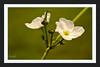 White Flower (Shojib77) Tags: flowers white whiteflower