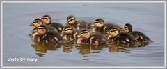 Ducklings (maryimackins) Tags: ducklings mallard hever wildlife mary mackins kent