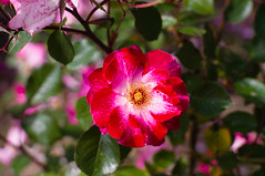 Rosa - I (J.vier) Tags: meike35mm flower rose flor rosa red white green verde sony nex mirrorless