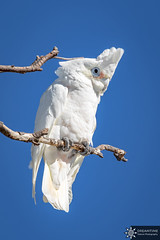Little corella (Dreamtime Nature Photography) Tags: littlecorella cacatoèscorella cacatuasanguinea stanthorpe queensland qld australia australie animal oiseau aves bird wildlife canon canon7dm2