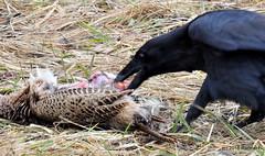 DSC_0440 (RachidH) Tags: birds crow corbeau corneille corvidae corvus americancrow corvusbrachyrhynchos corneilledamérique newton nj rachidh nature black pheasant faisan hopatcong newjersey