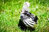 Baby Chickens-23 (sammycj2a) Tags: chick chickens backyardfarm farm chicks pullets straightrun backyard nikon nikkor lightroom