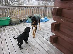"4/12/18 Memory ""Hi I'm Josh"" (Hodgey) Tags: dogs josh lab maggie dobieshepherd x deck logcabin 12fordogs maine"