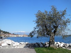 Salò - Garda Lake (magellano) Tags: salò italia italy lombardia lago lake garda ulivo olive tree albero