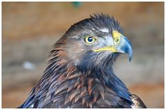 GOLDEN EAGLE (jimdownes) Tags: golden eagle anne hathaways