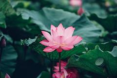 Lotus (aelx911) Tags: a7m2 a7 a7ii sony glens fe70200 70200 landscape flower plant lotus nature bokeh taiwan taipei 台灣 台北 板橋 人工溼地