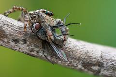 Marpissa (andredekesel) Tags: marpissamuscosa salticidae spider fly macro diptera stagedinsects newport430 starretmicrometer sonya7rm2 metabonescanoneftosonyesmartadaptermarkiv canonmpe65mm zerenestacker gimp