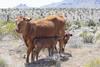 Free Range Mama (magnetic_red) Tags: cow calf calves nature freerange cattle desert openrange mountains mojavenationalpreserve