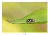 Poste d'observation (Pascal_C) Tags: salticae araignée sauteuse spider jumping macro