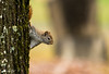 On the look out! (Keztik) Tags: squirrel animal wildlife écureuil nature