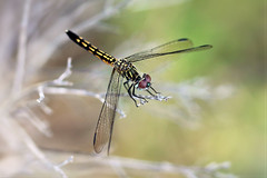 Dragonfly from above (Monkeystyle3000) Tags: dragonfly macro invertebrate insect