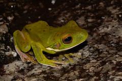 Litoria infrafrenata (white-lipped tree frog) (LeahJCarr) Tags: frog whitelippedtreefrog wettropics litoria