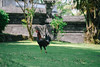Bali Trip 02 (flicka.pang) Tags: bali fujixt1 fujifilm fujifilmxt1 fujifilmxf60mmf24rmacro indonesia tanahlot xt1 animal chicken