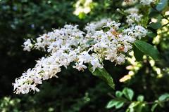 Flowering Trees | East Cobb Park | Marietta, Georgia (steveartist) Tags: trees flowers floweringtrees eastcobbpark mariettaga stevefrenkel iphonese snapseed leaves lightshadows bokeh whiteflowers