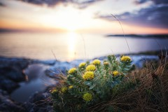 (Frank S. Schwabe) Tags: rhodiola rosea rosenrot sunset sea shore sunlight summer sky rocks coast clouds coastal canon ocean klubba kristiansund nordmøre norge norway nature eos ef24mmf28isusm evening