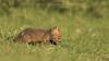 Red Fox Kits (Ian Hufton Photography - Landscape & Wildlife) Tags: fox redfox kit kits cub cubs vulpesvulpes kent wildlife wild