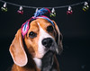 Suri (Sergio Nevado) Tags: perro dog beagle mascota pet animal retrato portrait estudio studio luces lights
