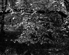 Hanging Beech Leaves (Hyons Wood) (Jonathan Carr) Tags: ancientwoodland largeformat w black white monochrome 4x5 5x4 toyo45a rural northeast trees beech leaves