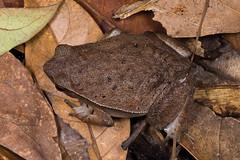 Kalophrynus sp. (NakaRB) Tags: malaysia borneo sarawak permairainforestresort 2017 amphibia anura microhylidae kalophrynus
