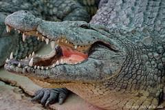 Crocodile (DirkVandeVelde back , and catching up) Tags: europa europe europ espagne spanje spain malaga torremolinos benalmadena cocodrílido fauna krokodillen crocodylidae crocodile biologie reptiel reptile sony chordata sauropsida
