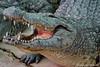 Crocodile (DirkVandeVelde back in July) Tags: europa europe europ espagne spanje spain malaga torremolinos benalmadena cocodrílido fauna krokodillen crocodylidae crocodile biologie reptiel reptile sony chordata sauropsida