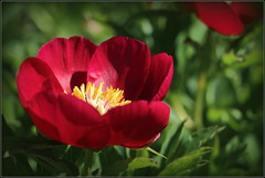 Ein wunderschönes sonniges Pfingstfest (julia_HalleFotoFan) Tags: pfingsten paeoniaofficinalis staudenpfingstrose botanischergartenhalle