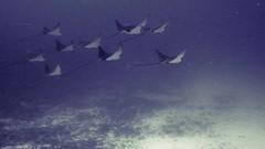 Eagle Rays Schoolin' Up (Scott Rettig) Tags: hawaii kona underwater big island diving bigisland scubadiving underwatervideo video scott rettig canon eagle ray honokohau harbor ikelite nature ocean