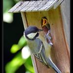 Mésange charbonnière (Parus major) nourrissant ses petits thumbnail