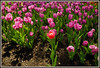 d (36) (Martin Stringer) Tags: ottawa ontario beauty flowers floral tulips tulipfestival scenics landscapes