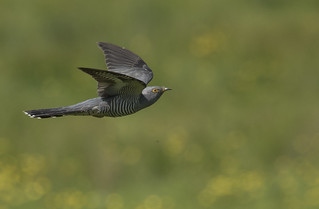 Cuckoo - Don't judge the Cuckoo