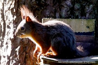 Ynys Môn, May 22nd, young Red squirrel Ynys Môn, sadly sunlight on this wonderful baby, beggars can't be choosers
