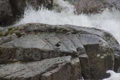 Dipper (Cinclus cinclus) (steve_whitmarsh) Tags: aberdeenshire scotland scottishhighlands water river waterfall bridge animal birds dipper rocks