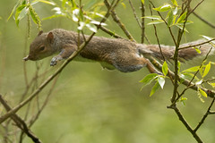 jumping squirrel (carltaylor) Tags: greysquirrel wildlife wild nature ngc natural jacksonsmarsh staffordshire jump jumping leap leaping flying canon