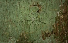 Tamopsis tweedensis (dustaway) Tags: arthropoda arachnida araneae araneomorphae hersiliidae tamopsis longspinneretbarkspider australianspiders victoriaparknaturereserve lichenmimic alstonvilleplateau dalwood northernrivers nsw nature australia tamopsistweedensis