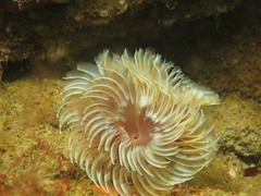 Fan worm (roger_forster) Tags: fanworm mewstone plymouth devon underwater diving scuba