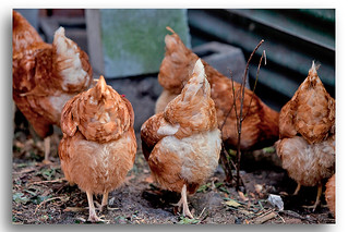 Domestic Chickens - Nice Buns :)