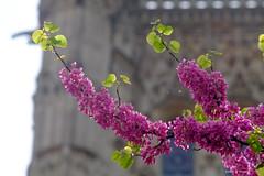Arbre de judée , square Saint Jacques, Paris (jpto_55) Tags: fleur arbre branche arbredejudée squaresaintjacques france xe1 bokeh fuji fujifilm omlens om135mmf28 paris ngc toursaintjacques