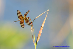 Halloween Pennant Dragonfly (Andrew's Wildlife) Tags: halloween pennant dragonfly
