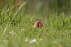 Linotte mélodieuse (Linaria cannabina) - Common Linnet (jf Pascal) Tags: mazères occitanie france domainedesoiseaux ddo linottemélodieuse cardueliscannabina commonlinnet passériformes fringillidés ariège