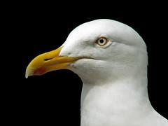 Herring Gull (Cornishcarolin. Stupid busy!! xx) Tags: devon httpswwwpaigntonzooorguk birds gulls herringgull beadyeye feathers nature blackbackground