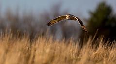 Short Eared Owl - Evening Light (irelaia) Tags: short eared owl evening light wild bird cotswolds