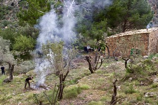 Pruning the olive trees