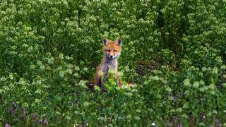 Red Fox - Vulpes vulpes | 2018 - 7