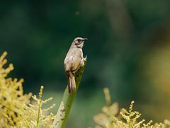 20180418-EM123042 (shutterblades) Tags: birds bukittimahnaturereserve dairyfarmnaturepark olivewingedbulbul olympusem1mkii olympusmzuiko300mmf4pro14tc singaporequarry
