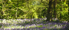 Bluebells on  a Sunday (amancalledalex) Tags: tocilwoodcoventry bluebells spring may sunny warm warwickshire