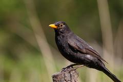 721A3034 (Chris Clicks Photography) Tags: bird birdphotography birdwatching birds blackbird canon canon7dmkii canonef100400f4556lisiiusm canon7dmarkii merebrow perch photography wildlife canon100400usmii canon7dmark2