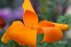 A tutte le Mamme...😘 (Biagio ( Ricordi )) Tags: mamma fiore flower giallo natura