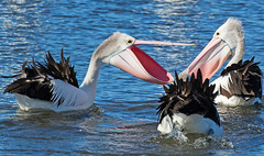 Happy Mother's Day (christinaportphotography) Tags: australianpelican pelecanusconspicillatus pelican centralcoast nsw australia bird birds wild free courting pink mothersday happymothersday mother focus windy